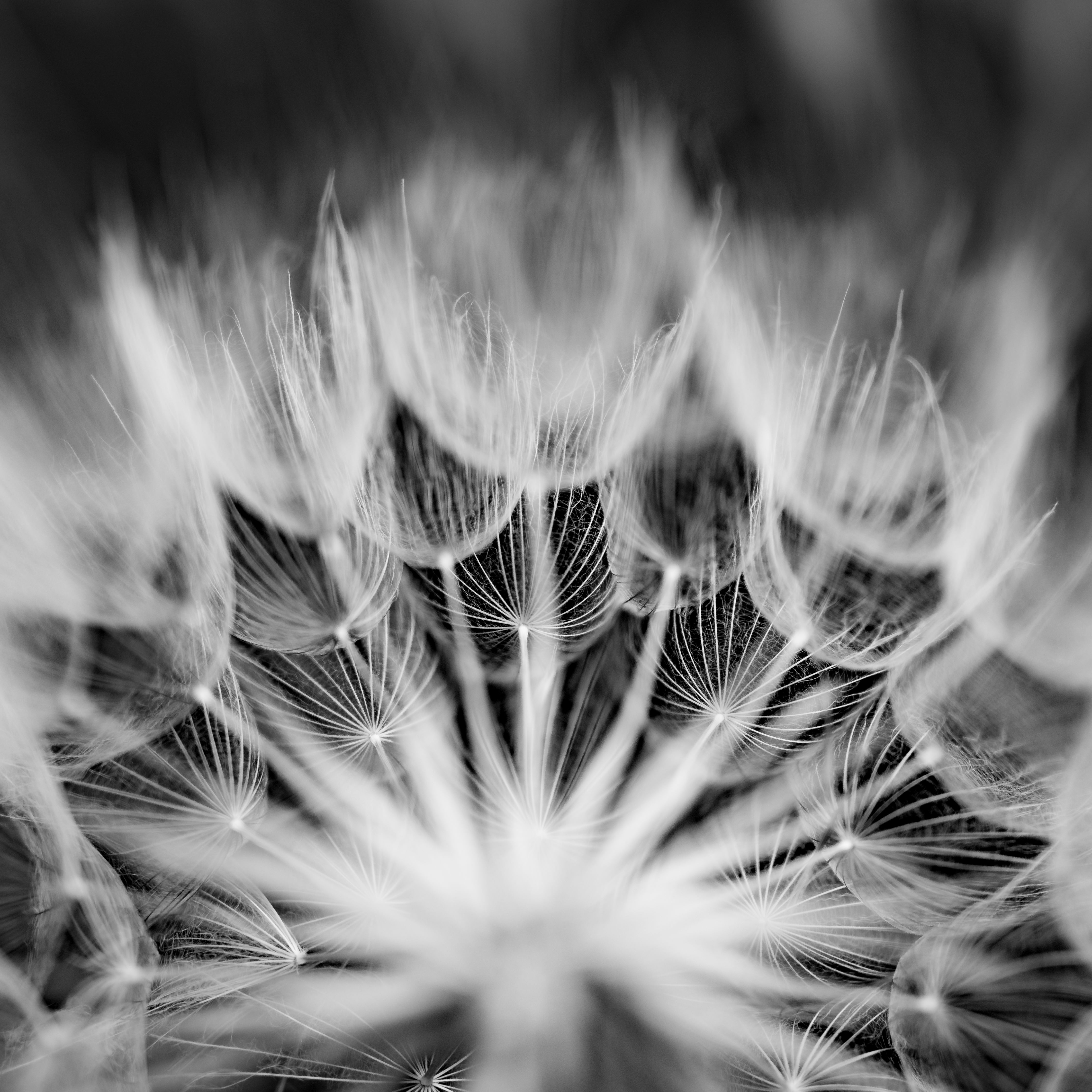 huge-dandelion-bw-00104.jpg